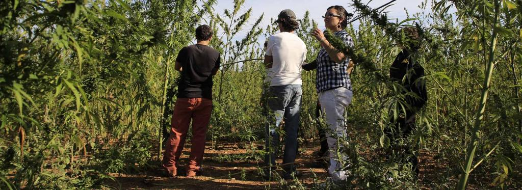 Cultivation of Cannabis in Italy